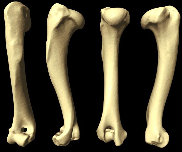 Dog bones anatomy