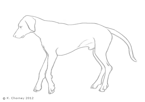 dog thoracic limb